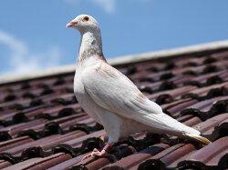 Gołąb pocztowy, gołębie pocztowe